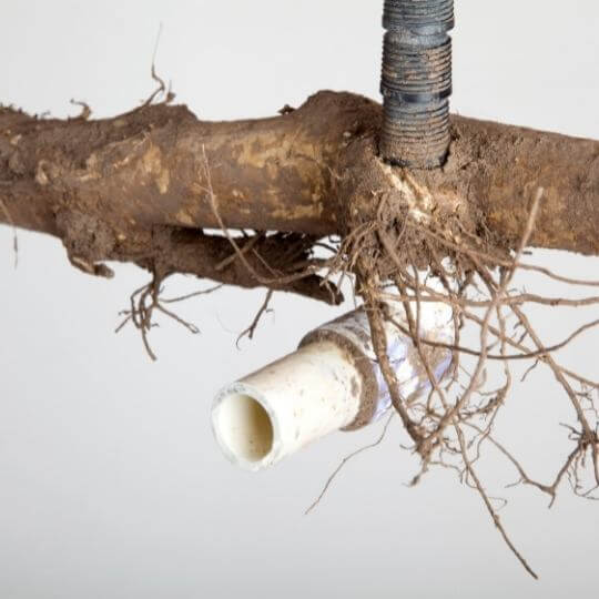 three_roots_in_pvc_pipe.jpeg